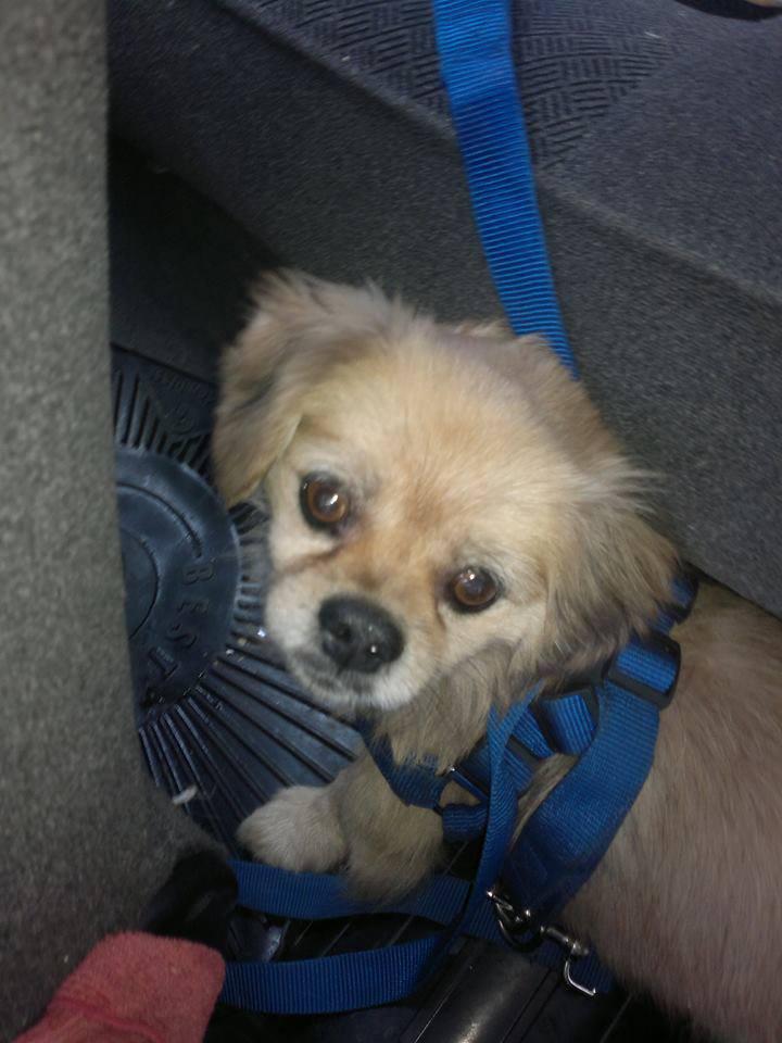واگذاری رایگان سگ کرج واگذاری سگ میکس پکینیز